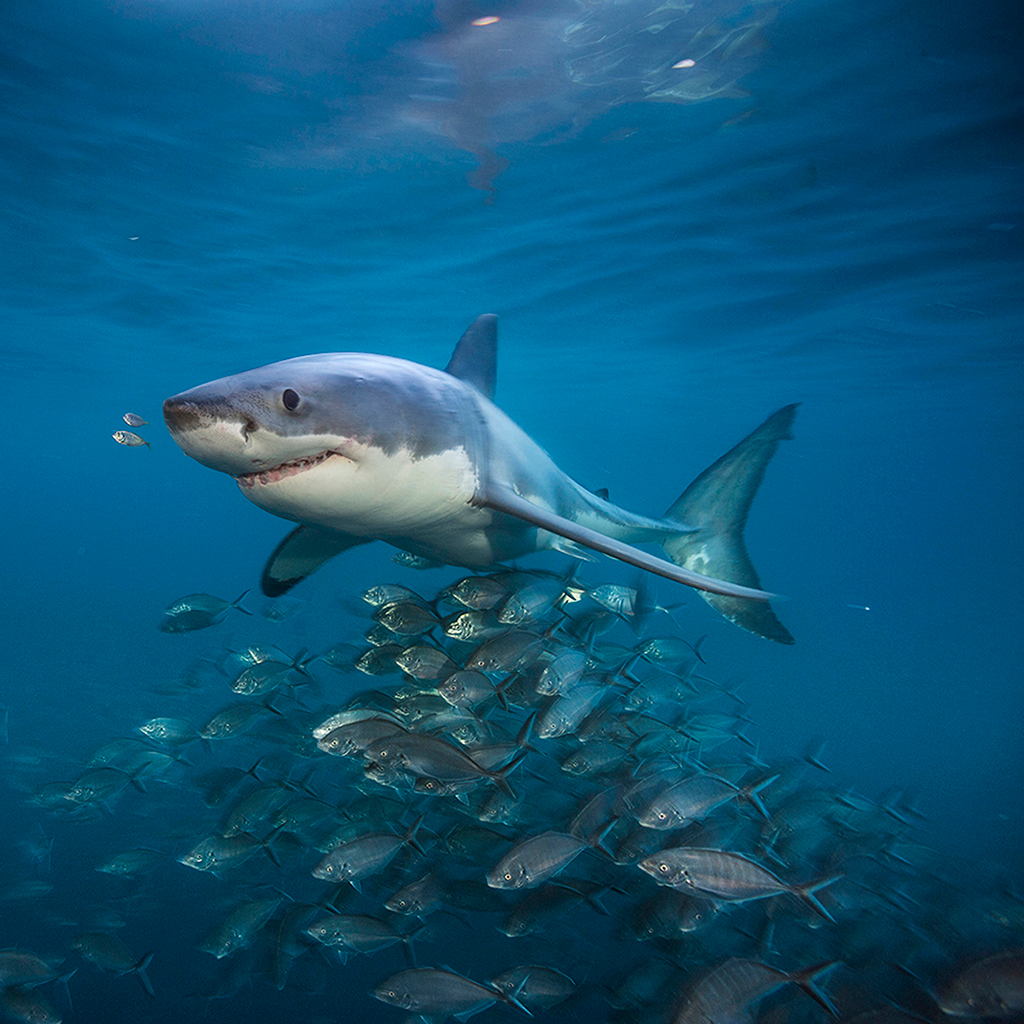 Incredible 360 Video of Great White Sharks - Zanzebek